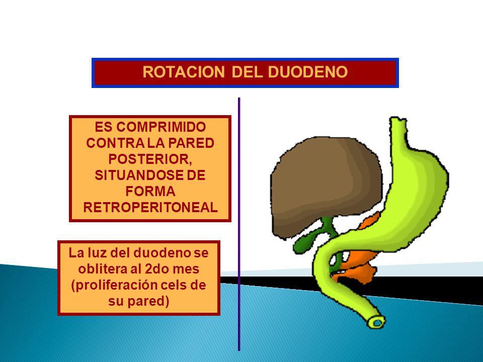 ROTACION DEL DUODENO ES COMPRIMIDO CONTRA LA PARED POSTERIOR, SITUANDOSE DE FORMA RETROPERITONEAL.