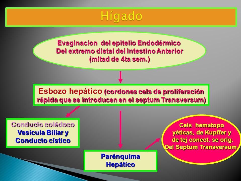 Hígado Esbozo hepático (cordones cels de proliferación