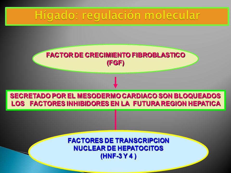 Hígado: regulación molecular