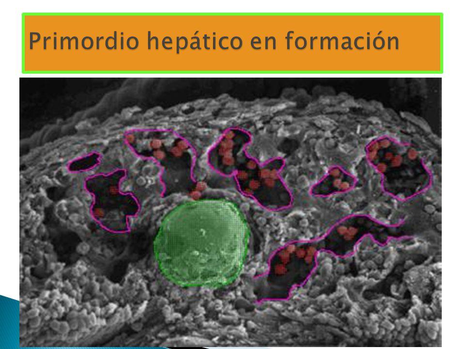 Primordio hepático en formación