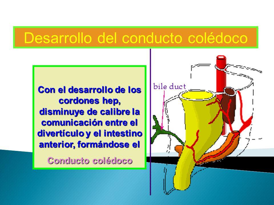 Desarrollo del conducto colédoco