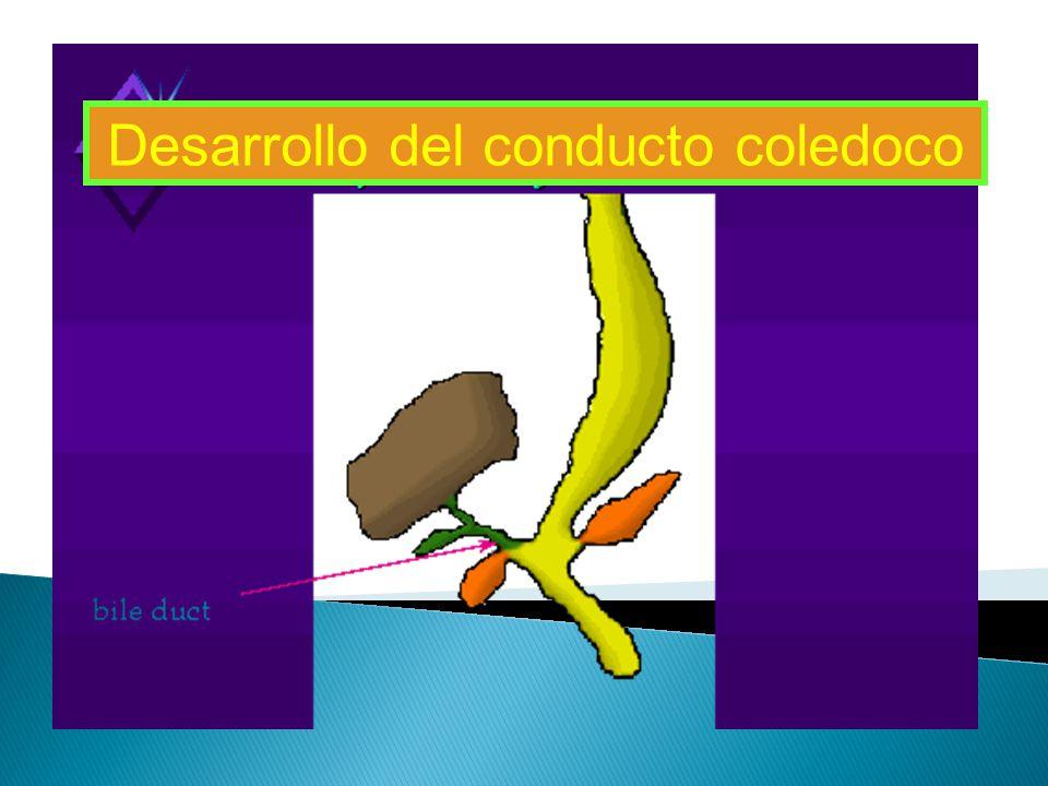 Desarrollo del conducto coledoco Desarrollo del conducto biliar