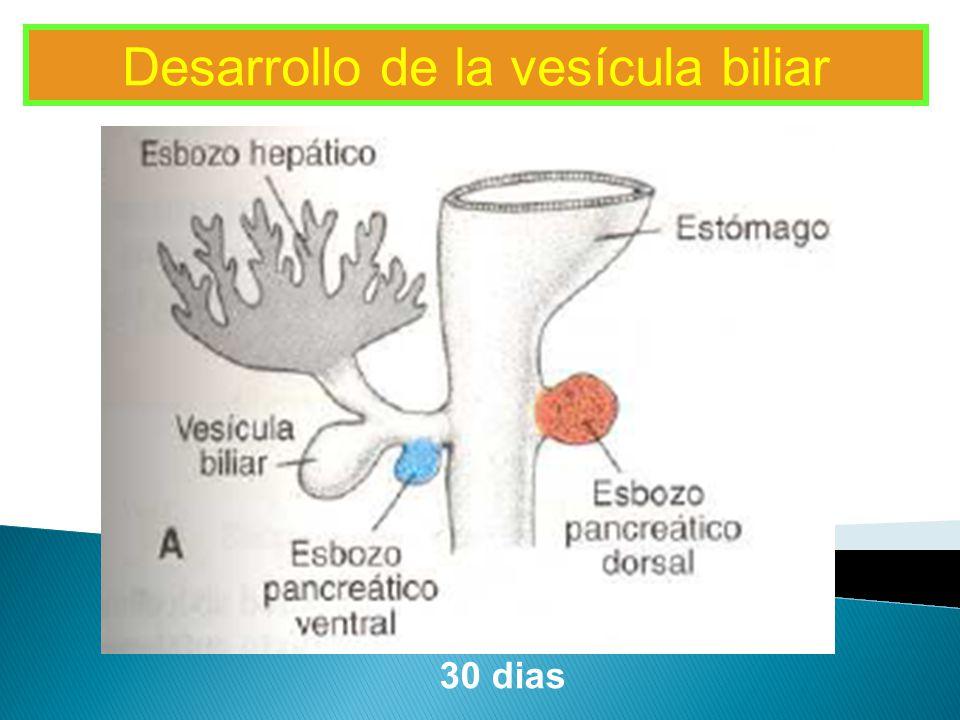 Desarrollo de la vesícula biliar
