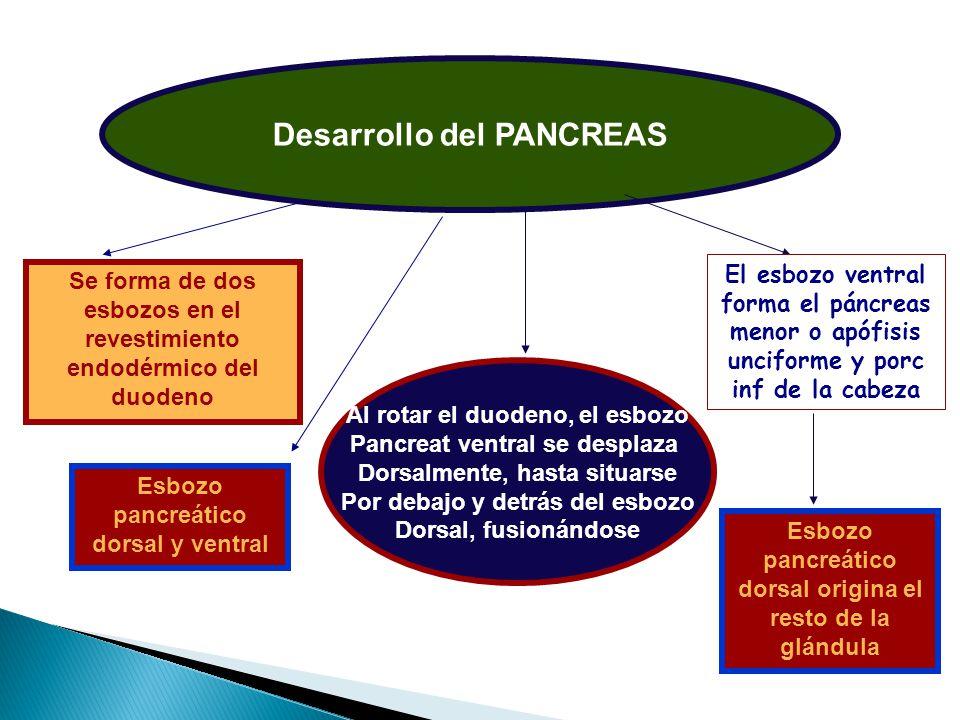 Desarrollo del PANCREAS