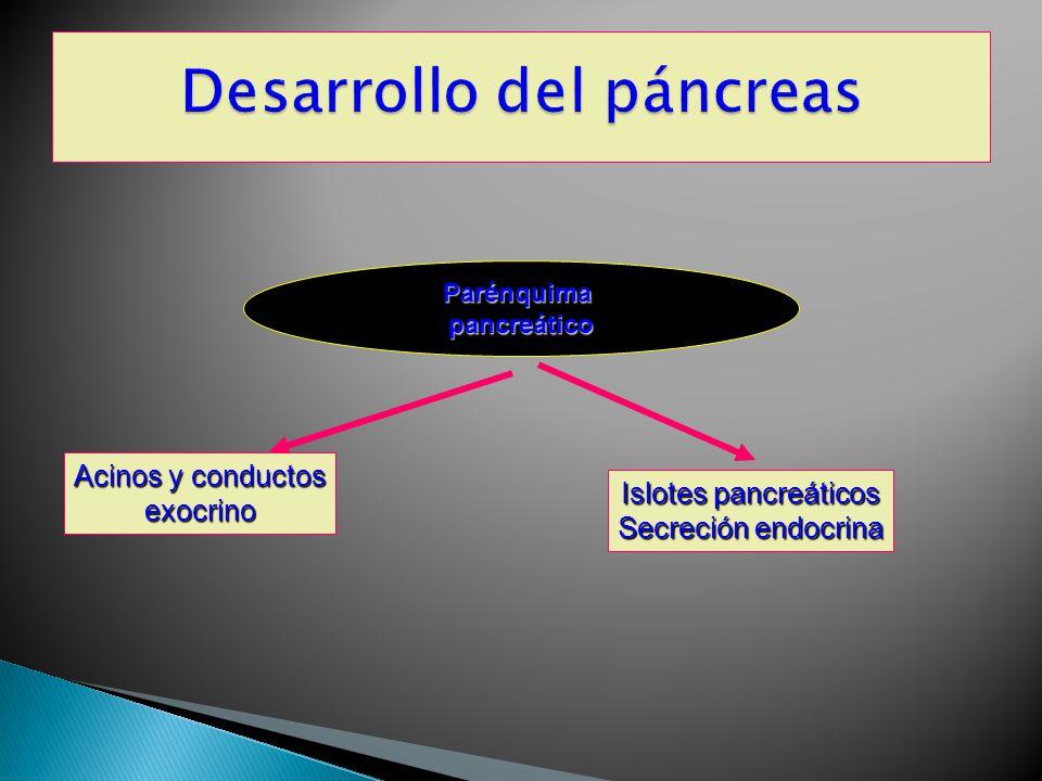 Desarrollo del páncreas