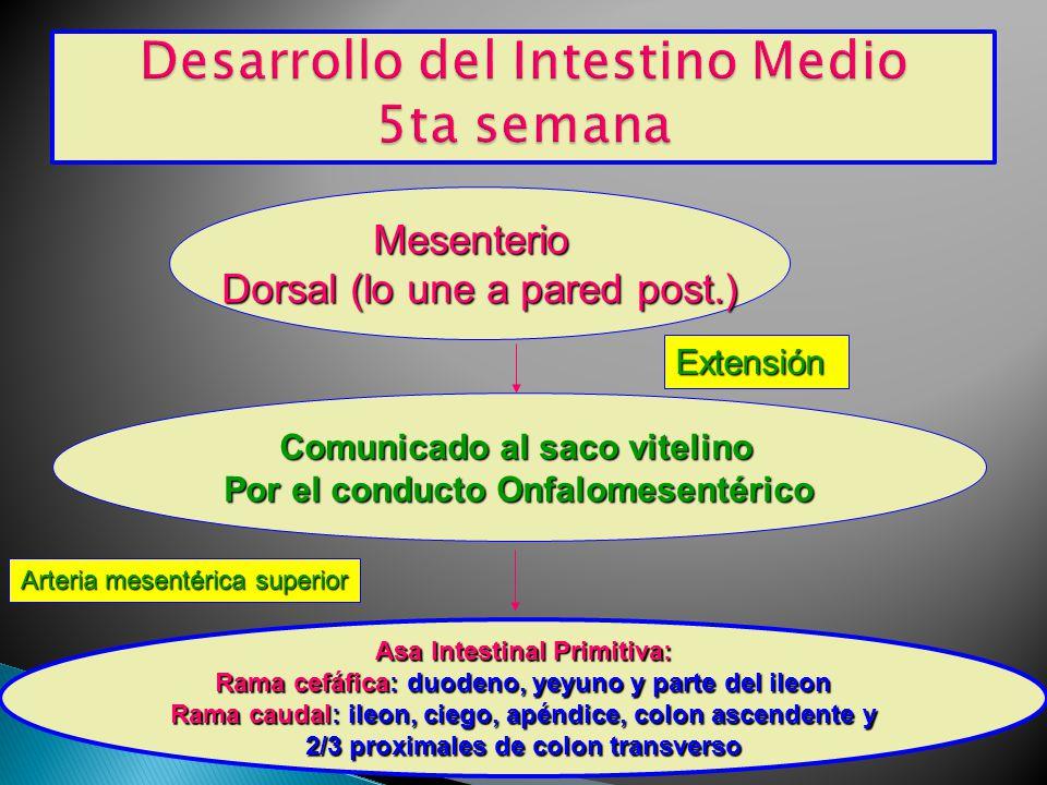 Desarrollo del Intestino Medio 5ta semana