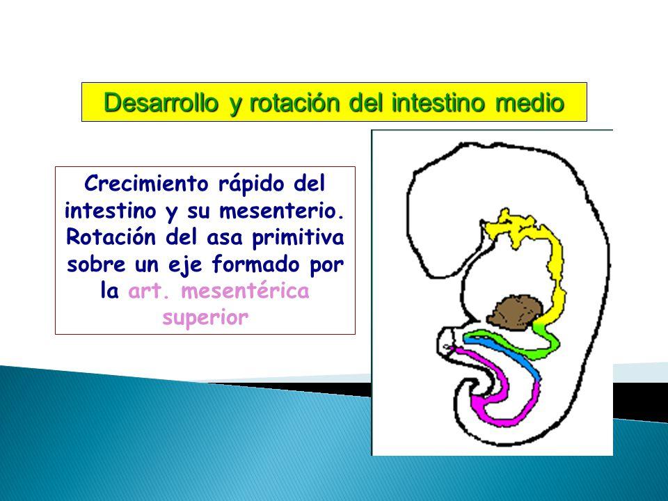 Crecimiento rápido del intestino y su mesenterio.