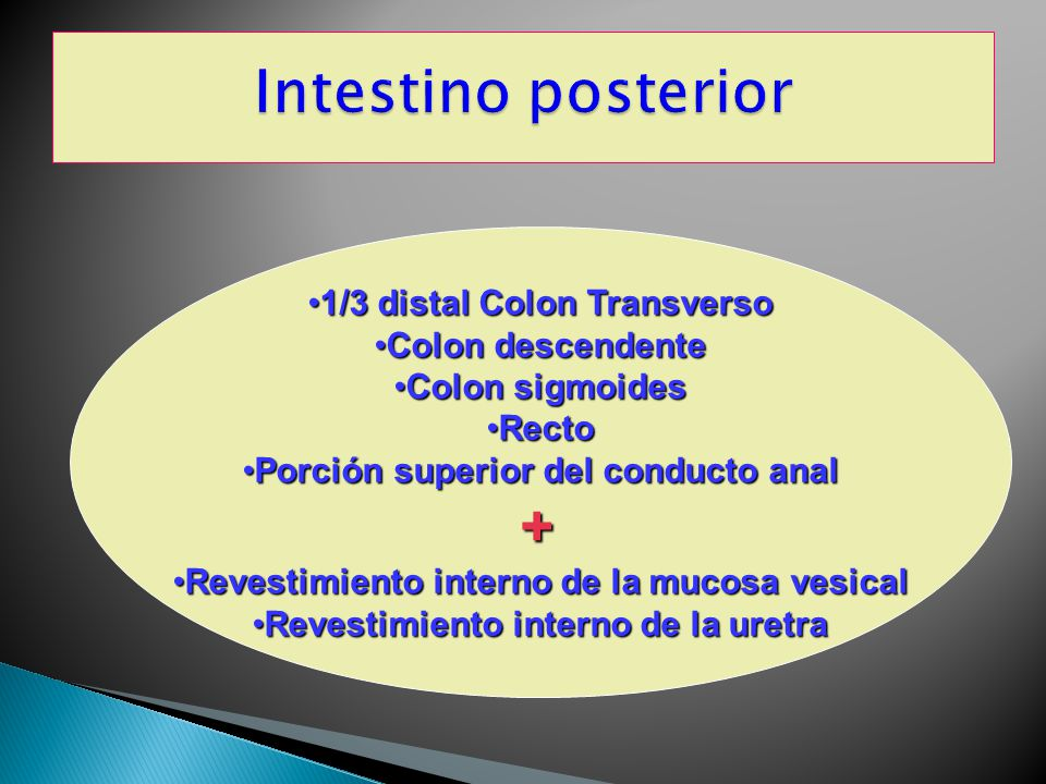 Intestino posterior + 1/3 distal Colon Transverso Colon descendente