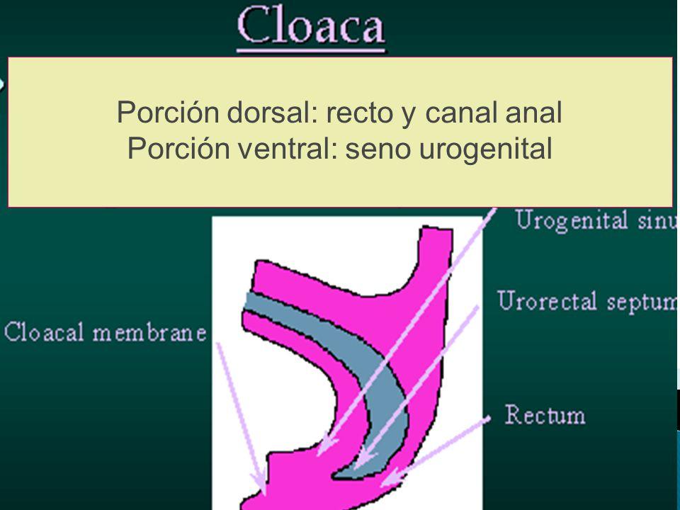 Porción dorsal: recto y canal anal Porción ventral: seno urogenital