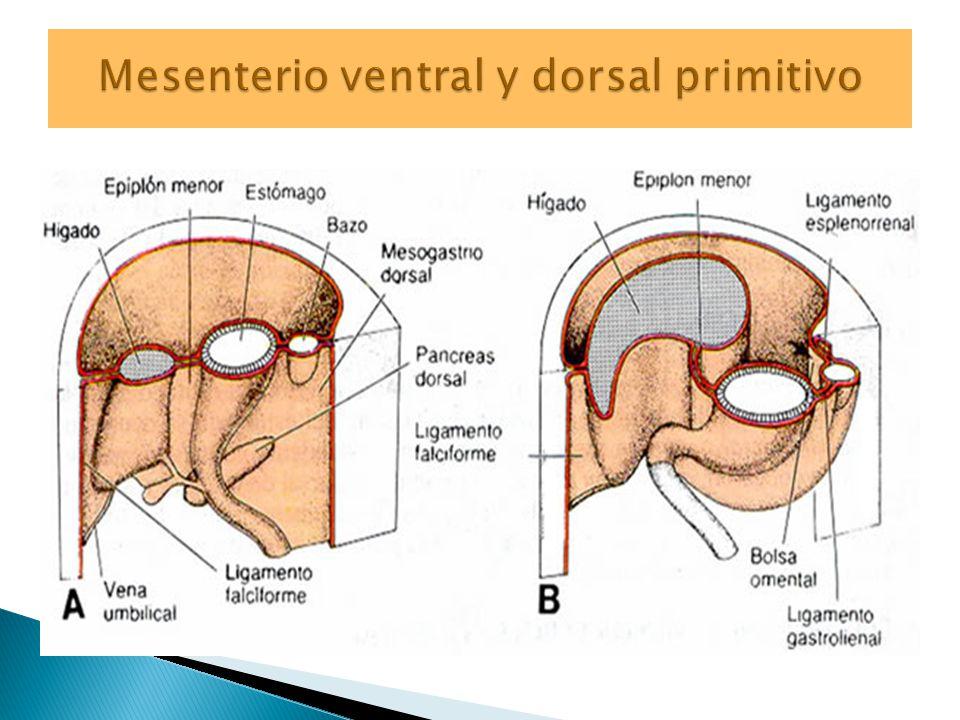 Mesenterio ventral y dorsal primitivo