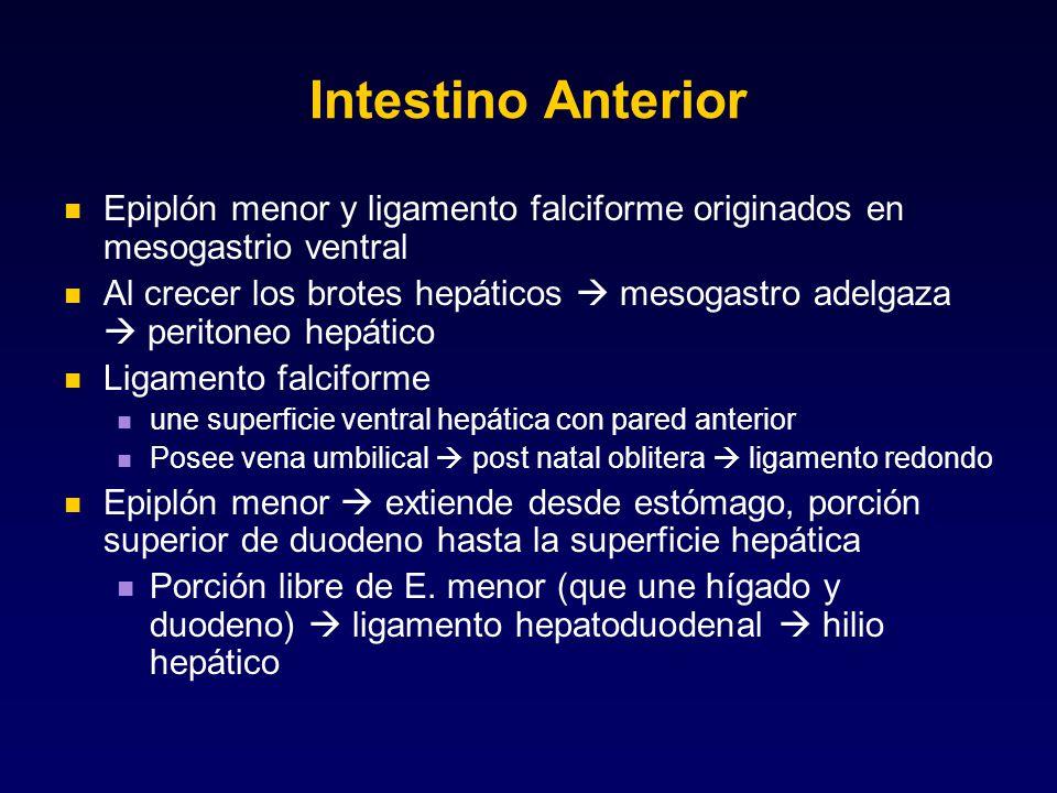 Intestino Anterior Epiplón menor y ligamento falciforme originados en mesogastrio ventral.