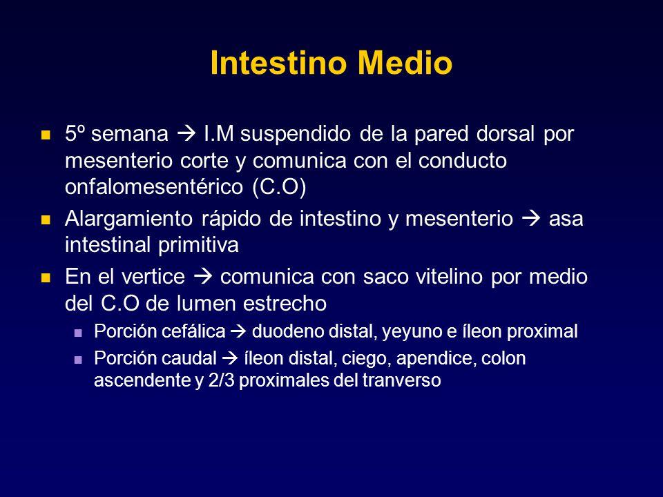 Intestino Medio 5º semana  I.M suspendido de la pared dorsal por mesenterio corte y comunica con el conducto onfalomesentérico (C.O)