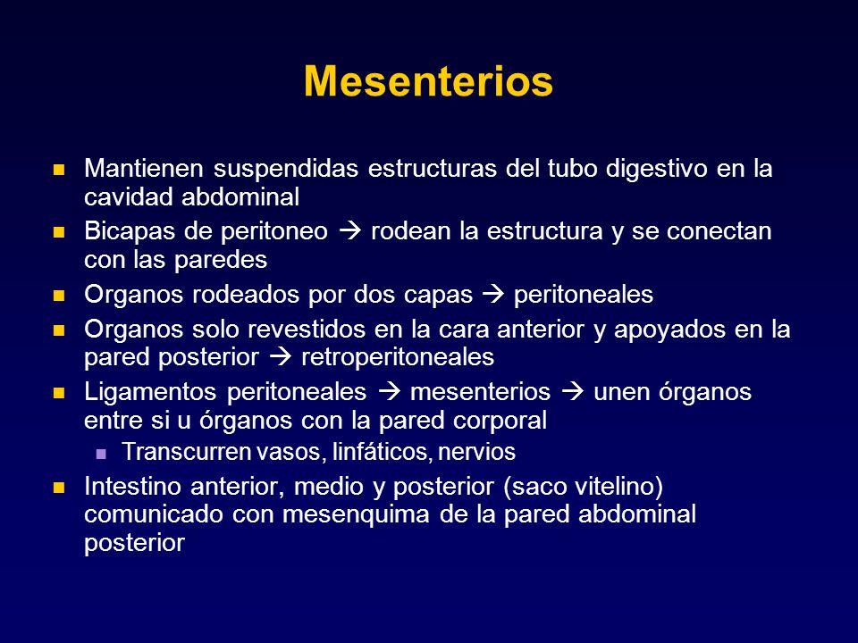 Mesenterios Mantienen suspendidas estructuras del tubo digestivo en la cavidad abdominal.