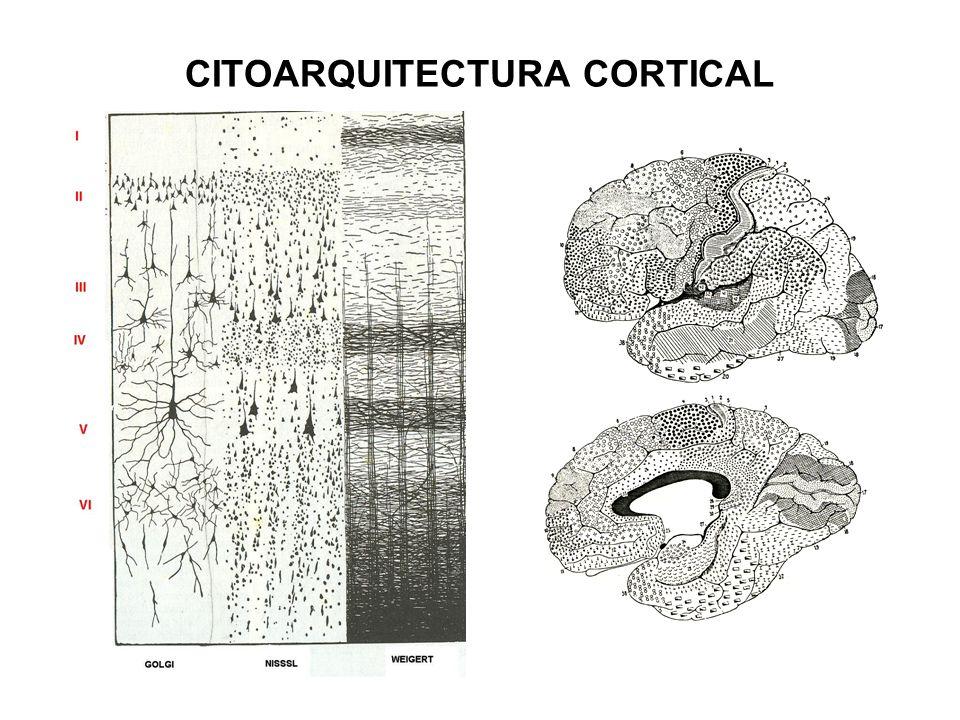 CITOARQUITECTURA CORTICAL