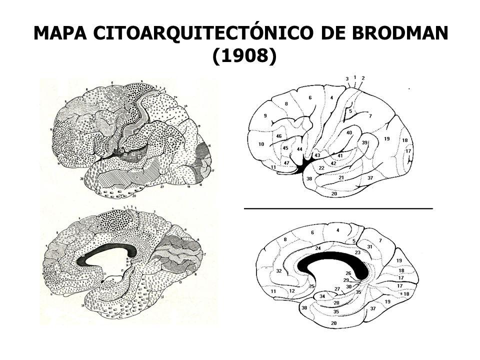 MAPA CITOARQUITECTÓNICO DE BRODMAN