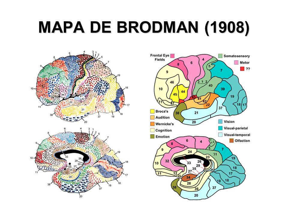 MAPA DE BRODMAN (1908)