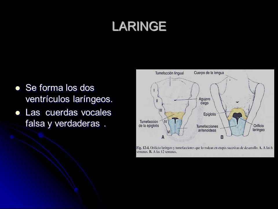 LARINGE Se forma los dos ventrículos laríngeos.