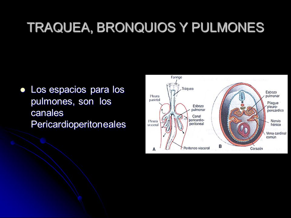 TRAQUEA, BRONQUIOS Y PULMONES
