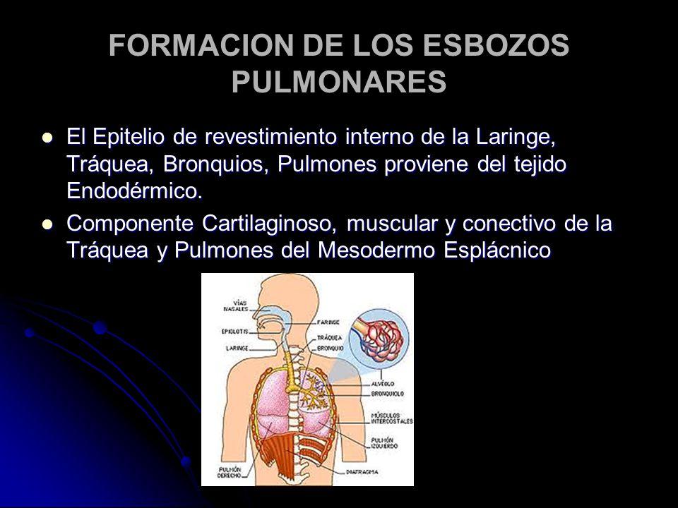 FORMACION DE LOS ESBOZOS PULMONARES