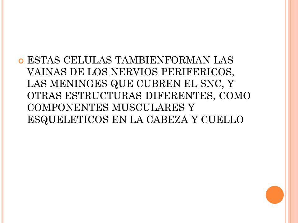 ESTAS CELULAS TAMBIENFORMAN LAS VAINAS DE LOS NERVIOS PERIFERICOS, LAS MENINGES QUE CUBREN EL SNC, Y OTRAS ESTRUCTURAS DIFERENTES, COMO COMPONENTES MUSCULARES Y ESQUELETICOS EN LA CABEZA Y CUELLO