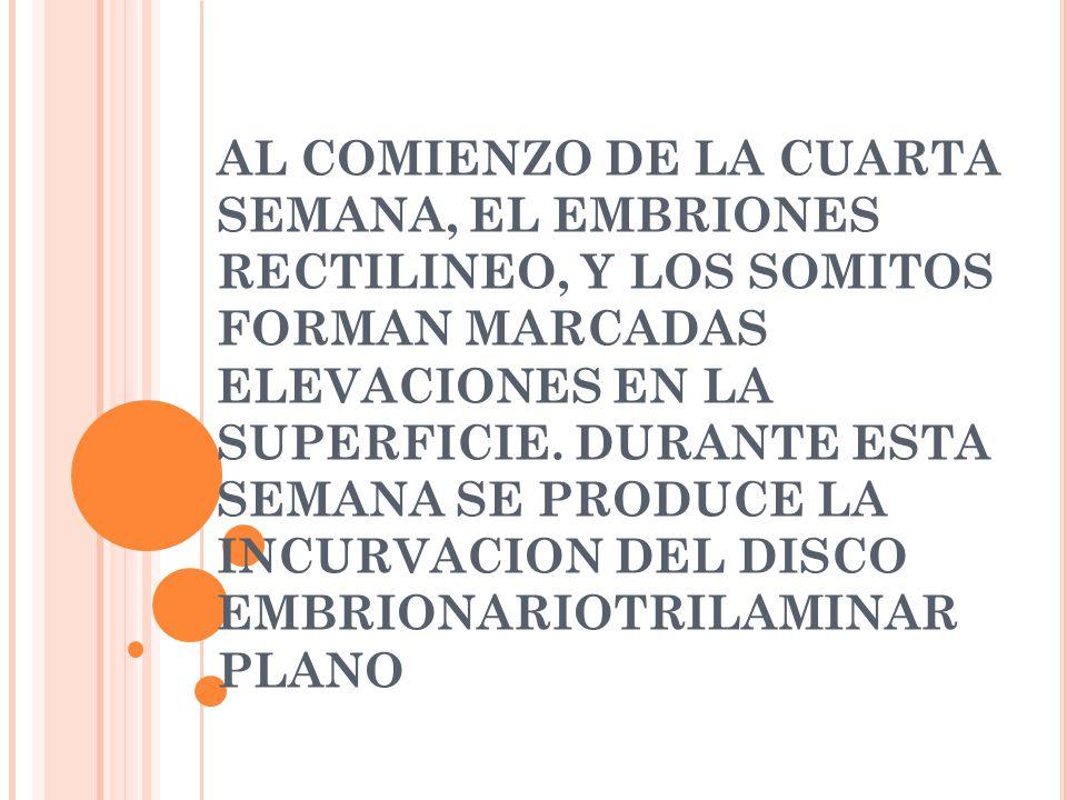 AL COMIENZO DE LA CUARTA SEMANA, EL EMBRIONES RECTILINEO, Y LOS SOMITOS FORMAN MARCADAS ELEVACIONES EN LA SUPERFICIE.