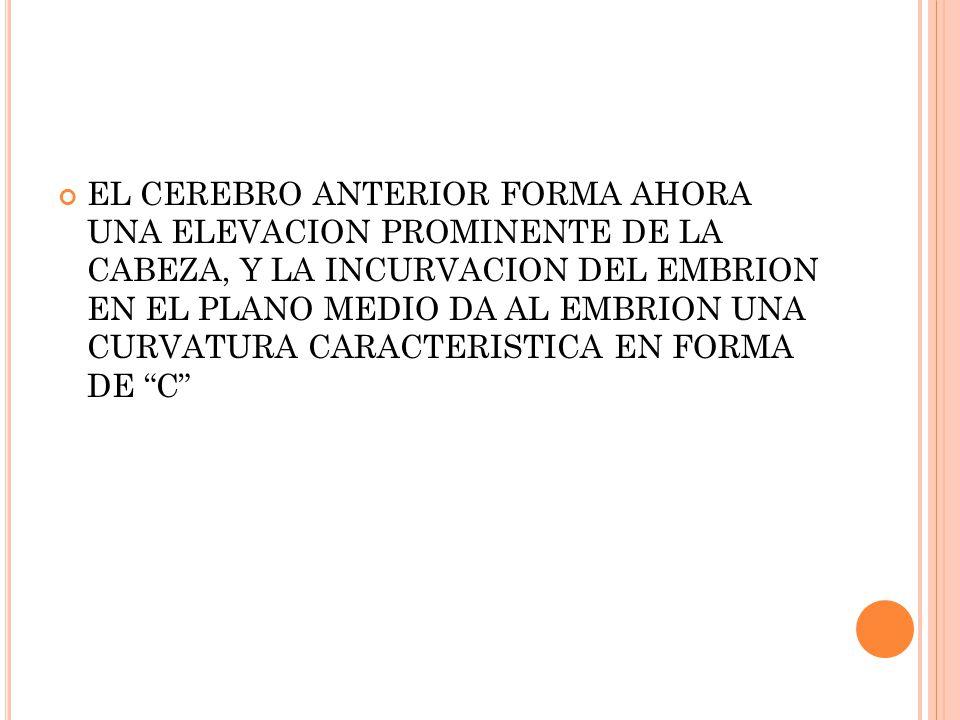 EL CEREBRO ANTERIOR FORMA AHORA UNA ELEVACION PROMINENTE DE LA CABEZA, Y LA INCURVACION DEL EMBRION EN EL PLANO MEDIO DA AL EMBRION UNA CURVATURA CARACTERISTICA EN FORMA DE C