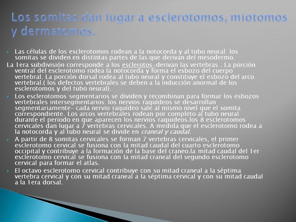 Los somitas dan lugar a esclerotomos, miotomos y dermatomos.