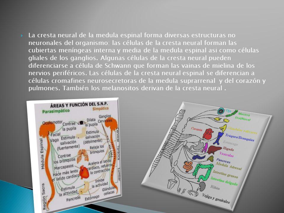 La cresta neural de la medula espinal forma diversas estructuras no neuronales del organismo: las células de la cresta neural forman las cubiertas meníngeas interna y media de la medula espinal asi como células gliales de los ganglios.
