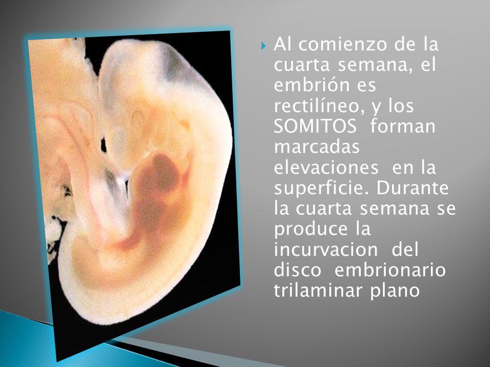 Al comienzo de la cuarta semana, el embrión es rectilíneo, y los SOMITOS forman marcadas elevaciones en la superficie.