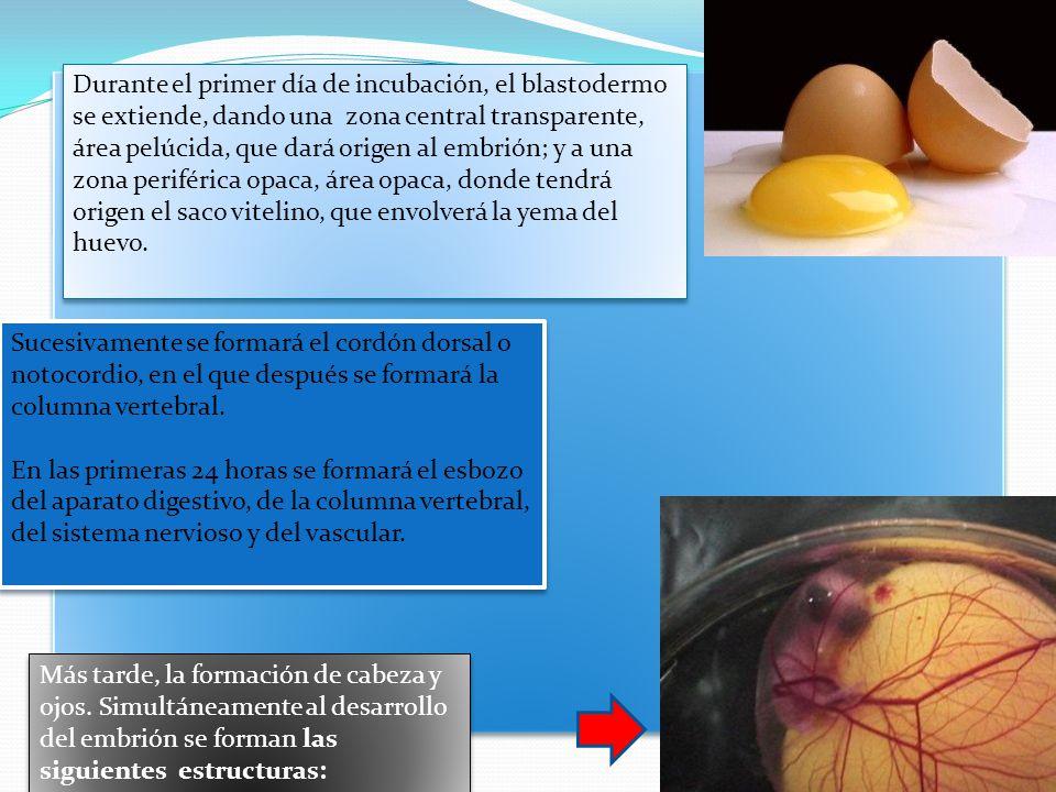 Durante el primer día de incubación, el blastodermo se extiende, dando una zona central transparente, área pelúcida, que dará origen al embrión; y a una zona periférica opaca, área opaca, donde tendrá origen el saco vitelino, que envolverá la yema del huevo.