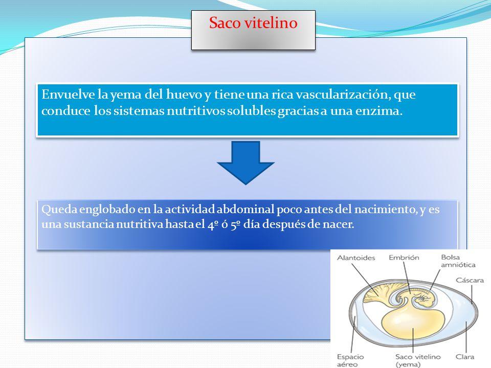 Saco vitelino Envuelve la yema del huevo y tiene una rica vascularización, que conduce los sistemas nutritivos solubles gracias a una enzima.