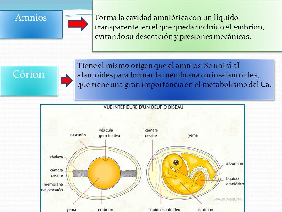 Forma la cavidad amniótica con un líquido transparente, en el que queda incluido el embrión, evitando su desecación y presiones mecánicas.