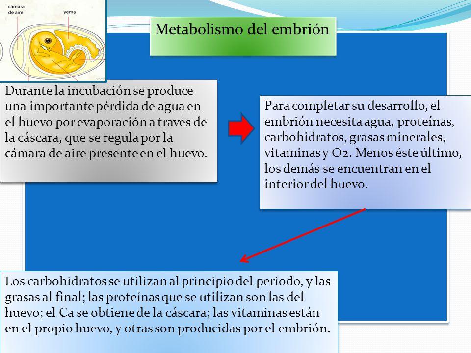 Metabolismo del embrión