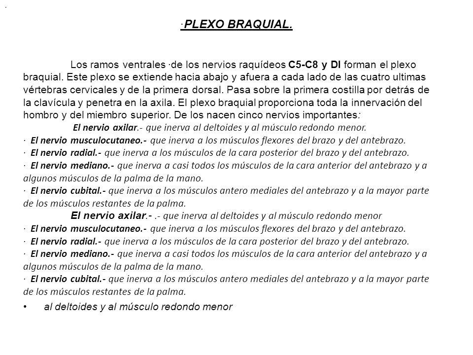 · ·PLEXO BRAQUIAL.