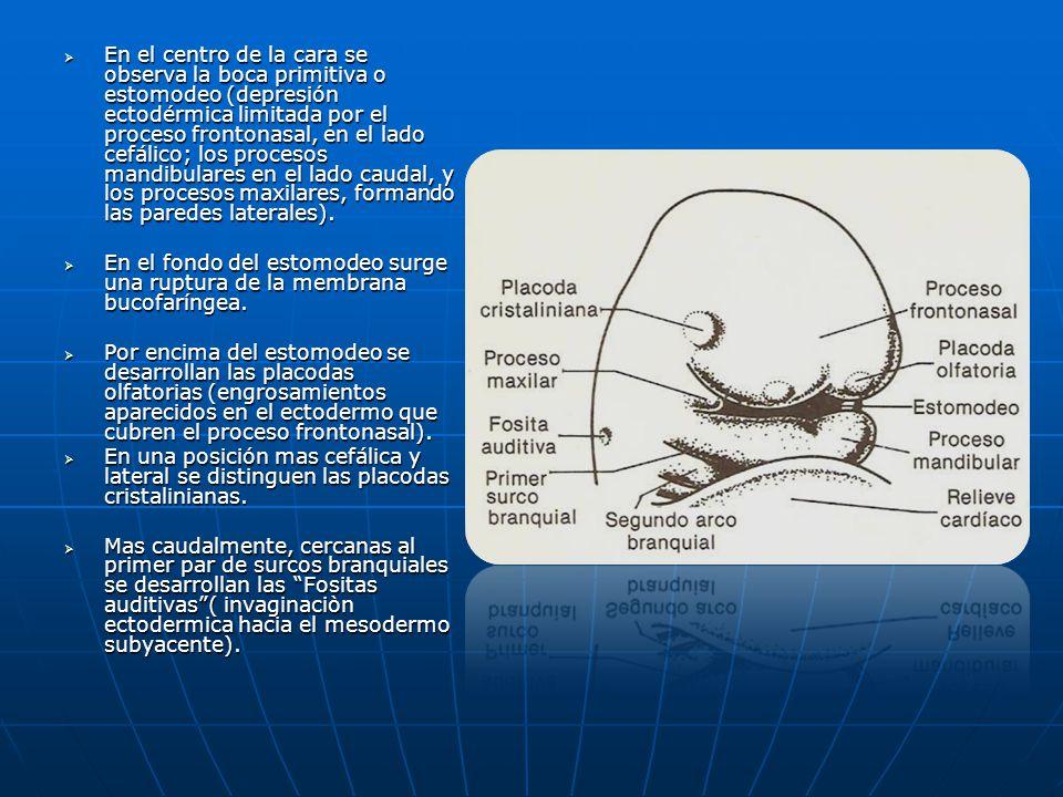 En el centro de la cara se observa la boca primitiva o estomodeo (depresión ectodérmica limitada por el proceso frontonasal, en el lado cefálico; los procesos mandibulares en el lado caudal, y los procesos maxilares, formando las paredes laterales).