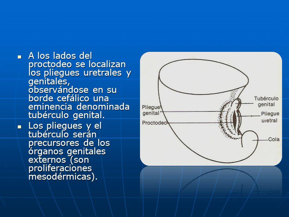 A los lados del proctodeo se localizan los pliegues uretrales y genitales, observándose en su borde cefálico una eminencia denominada tubérculo genital.