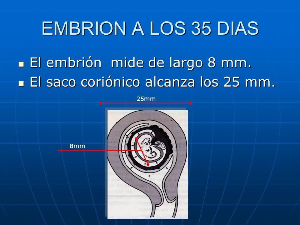 EMBRION A LOS 35 DIAS El embrión mide de largo 8 mm.