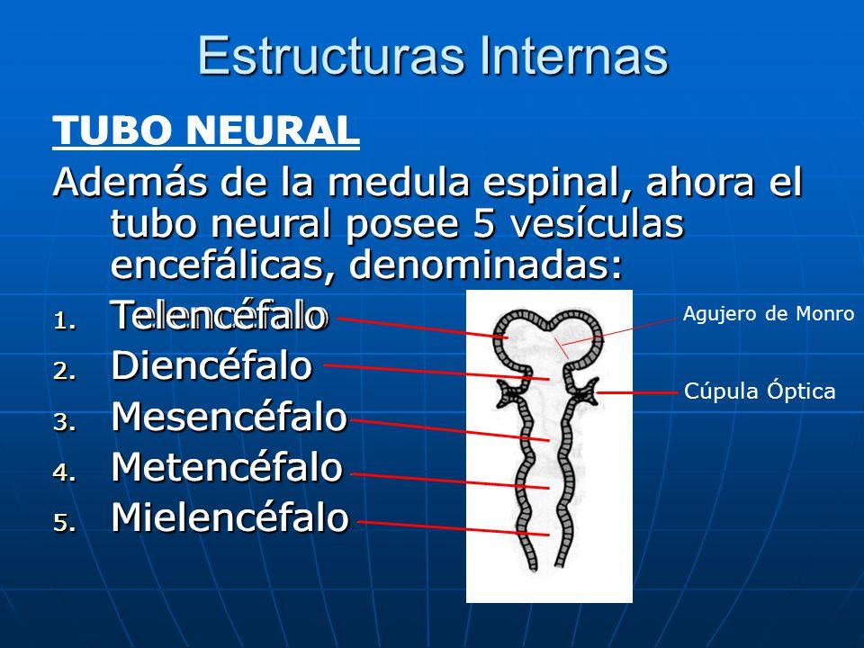 Estructuras Internas TUBO NEURAL