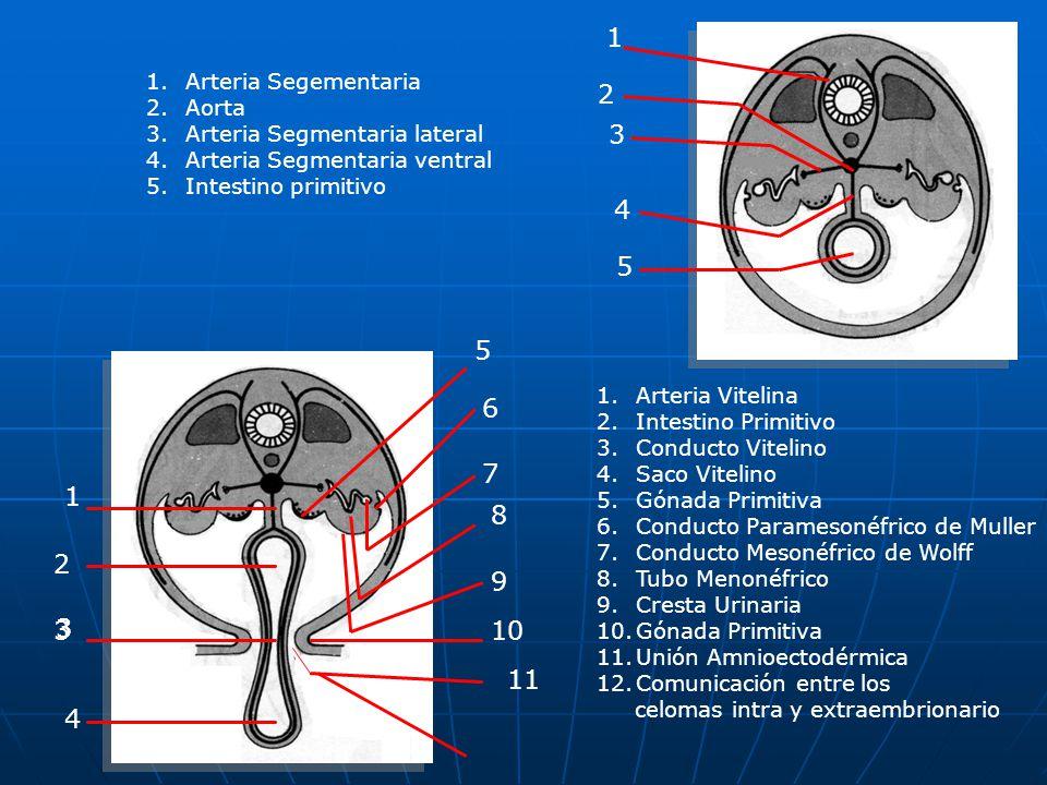 1 2 3 4 5 5 6 7 1 8 2 9 3 3 3 10 11 4 Arteria Segementaria Aorta