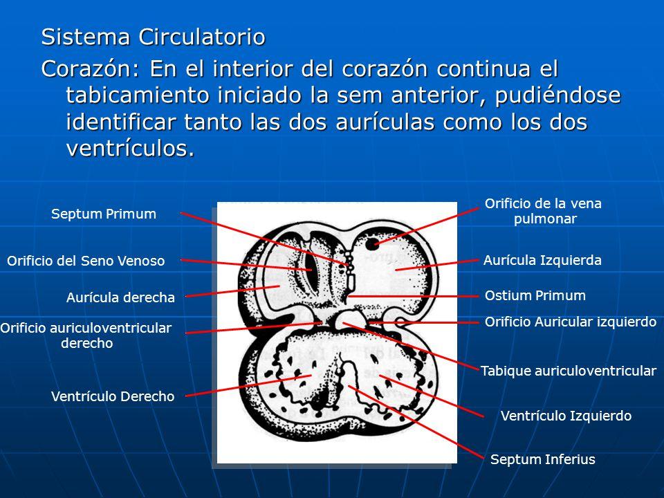 Orificio auriculoventricular