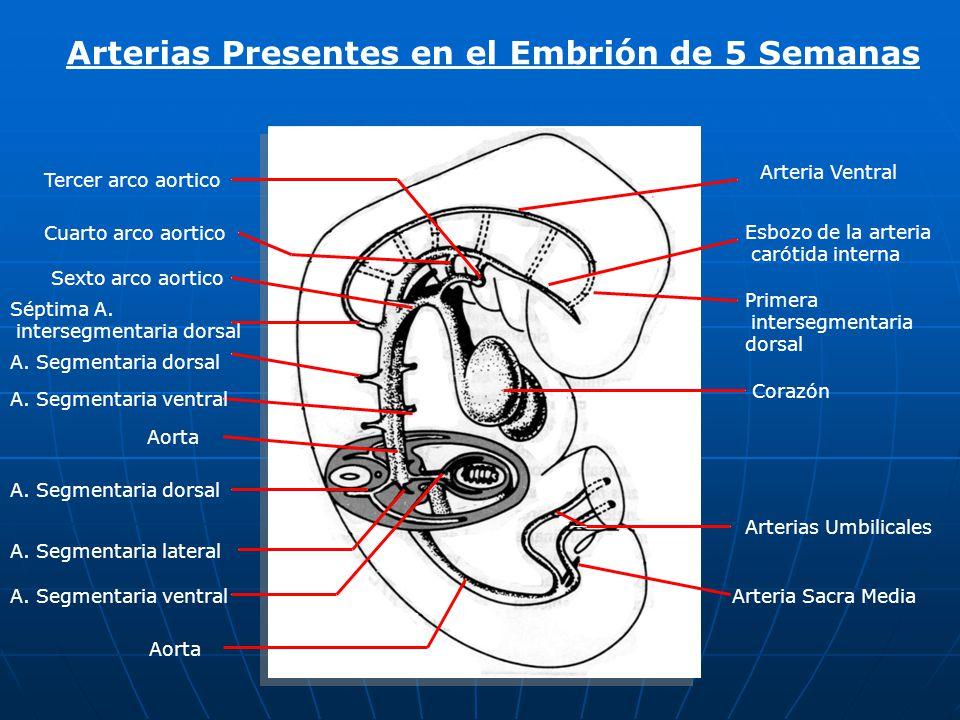 Arterias Presentes en el Embrión de 5 Semanas