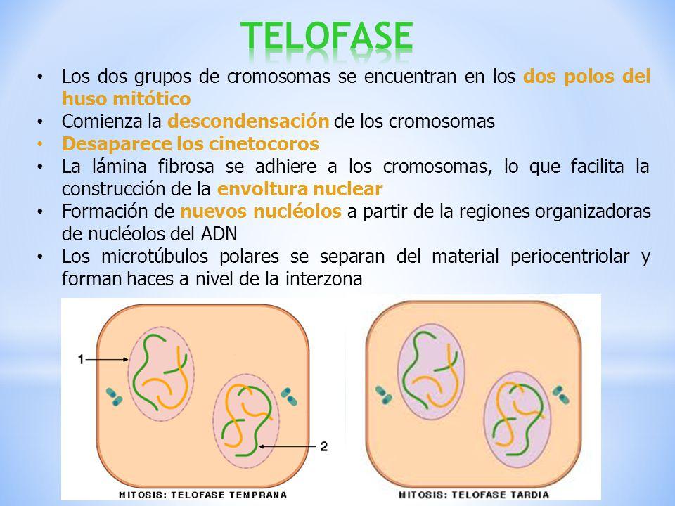 TELOFASE Los dos grupos de cromosomas se encuentran en los dos polos del huso mitótico. Comienza la descondensación de los cromosomas.