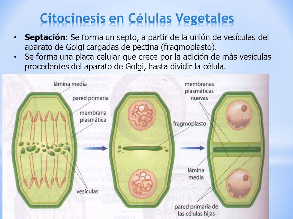 Citocinesis en Células Vegetales