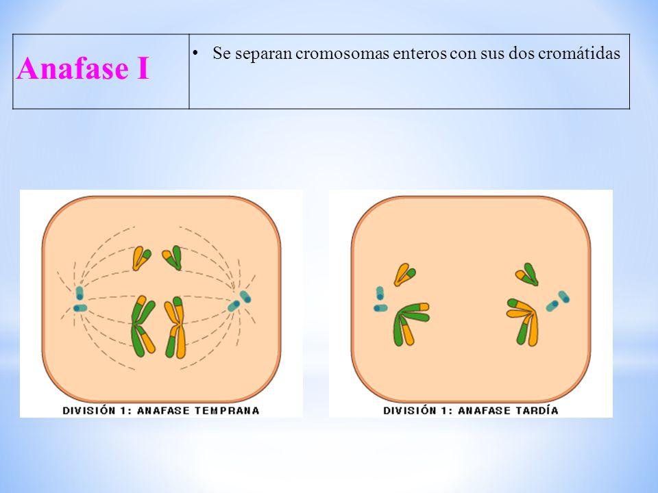 Anafase I Se separan cromosomas enteros con sus dos cromátidas