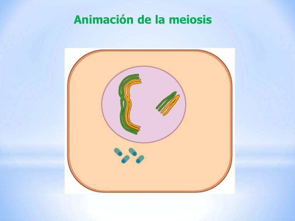 Animación de la meiosis