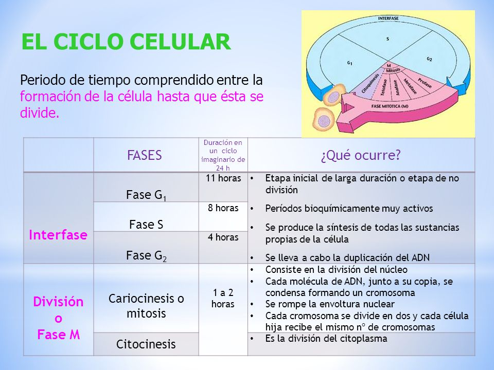 EL CICLO CELULAR Periodo de tiempo comprendido entre la formación de la célula hasta que ésta se divide.