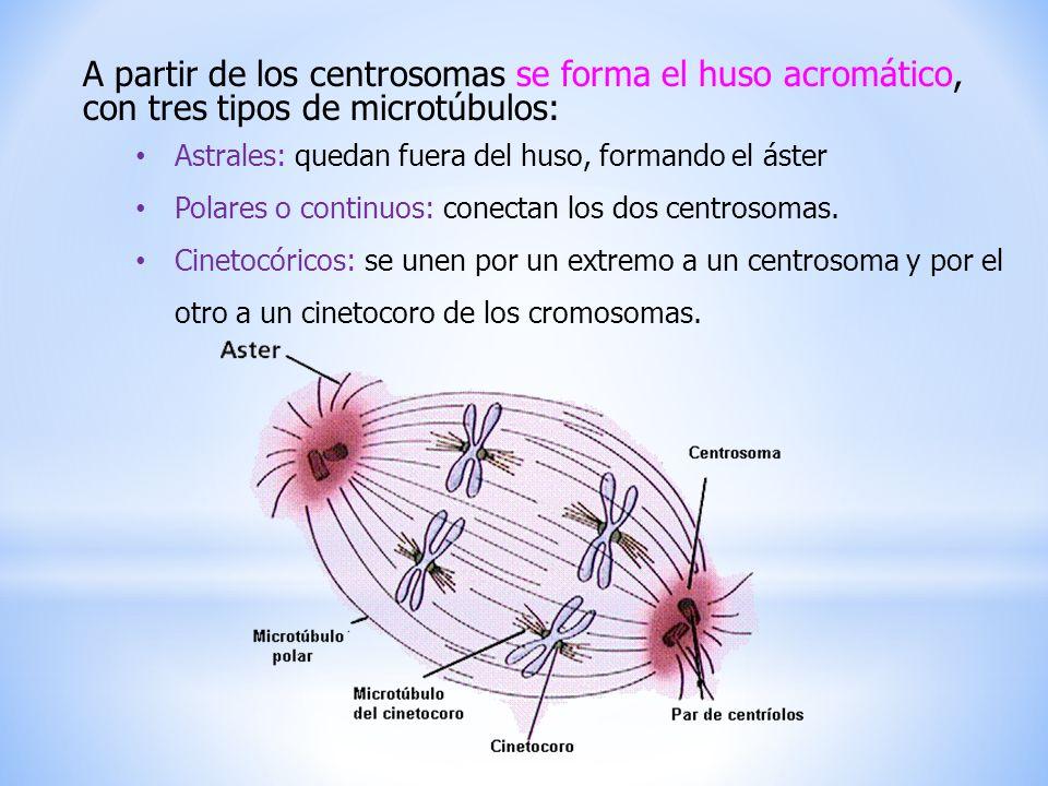 A partir de los centrosomas se forma el huso acromático, con tres tipos de microtúbulos: