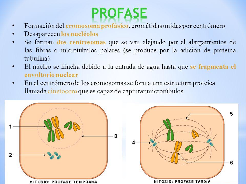 PROFASE Formación del cromosoma profásico: cromátidas unidas por centrómero. Desaparecen los nucléolos.