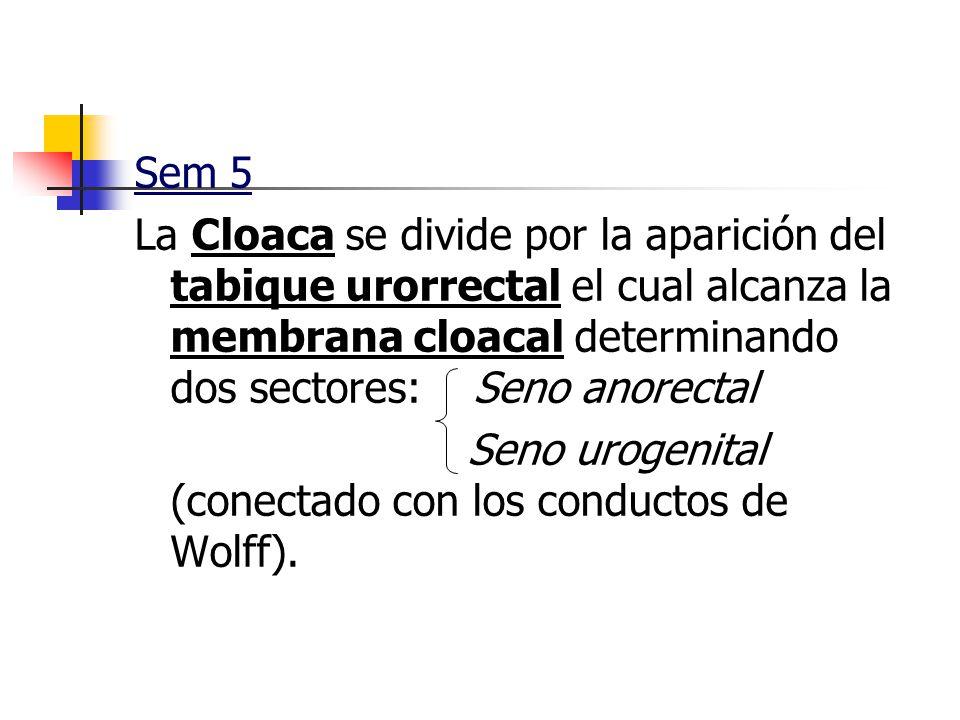 Sem 5 La Cloaca se divide por la aparición del tabique urorrectal el cual alcanza la membrana cloacal determinando dos sectores: Seno anorectal.