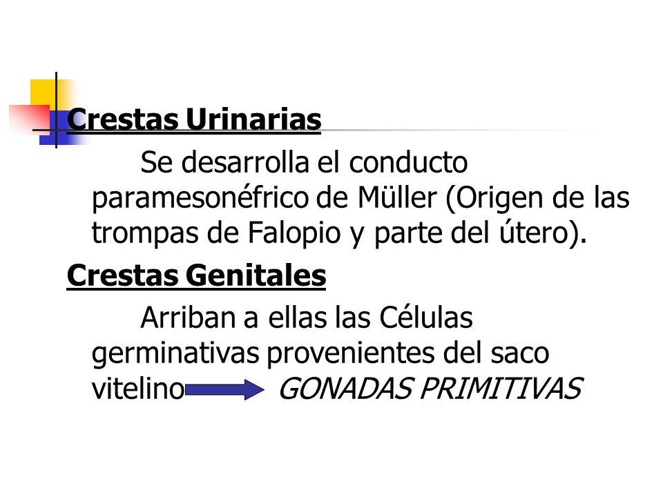 Crestas Urinarias Se desarrolla el conducto paramesonéfrico de Müller (Origen de las trompas de Falopio y parte del útero).